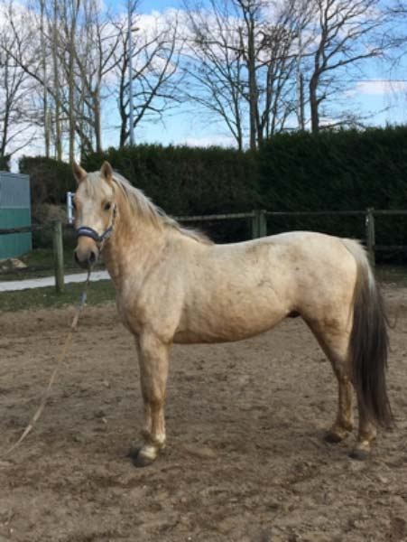 saillie etalon poney FUNKY LE BRIARD